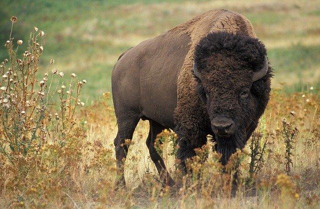 Bison aka Buffalo