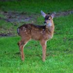 Young white-tailed deer